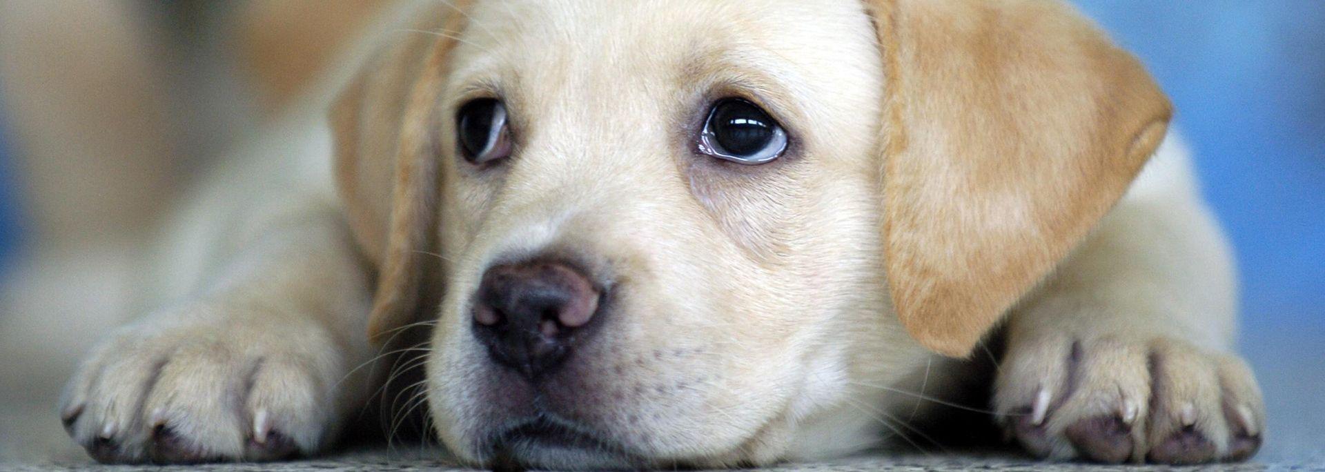 Peluquería Canina Peludos Fondo Labrador